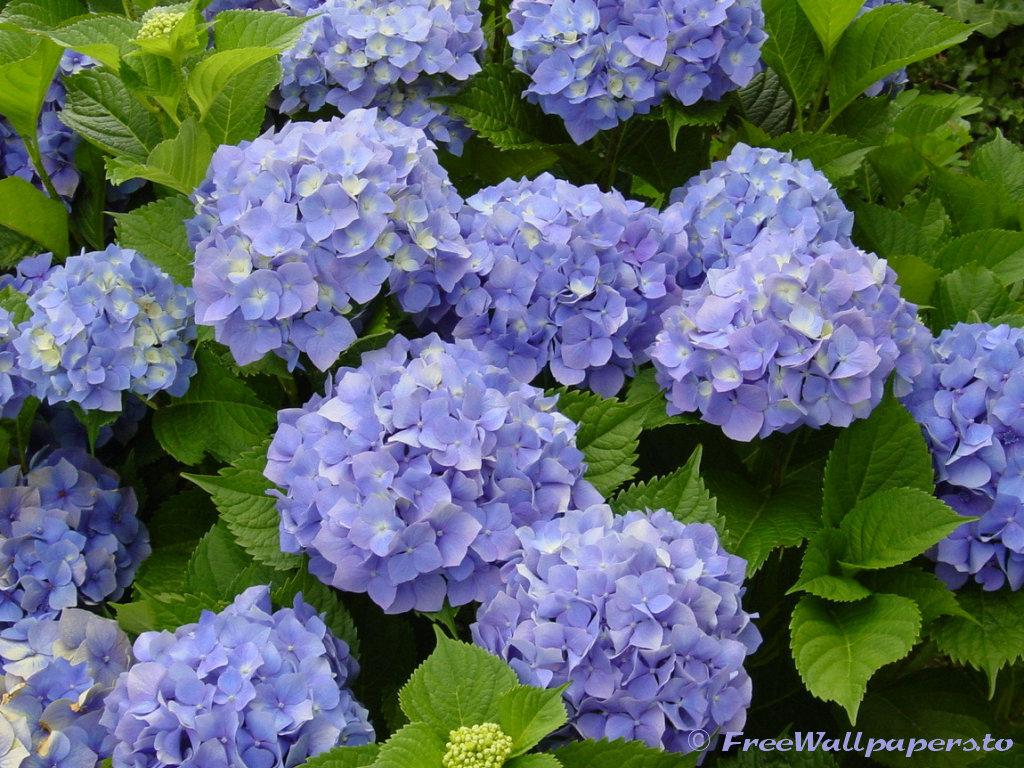 Фотографии Сиреневая гортензия. Лучшие фото обои - Растения: http://www.clasno.com/foto.php?id=3899